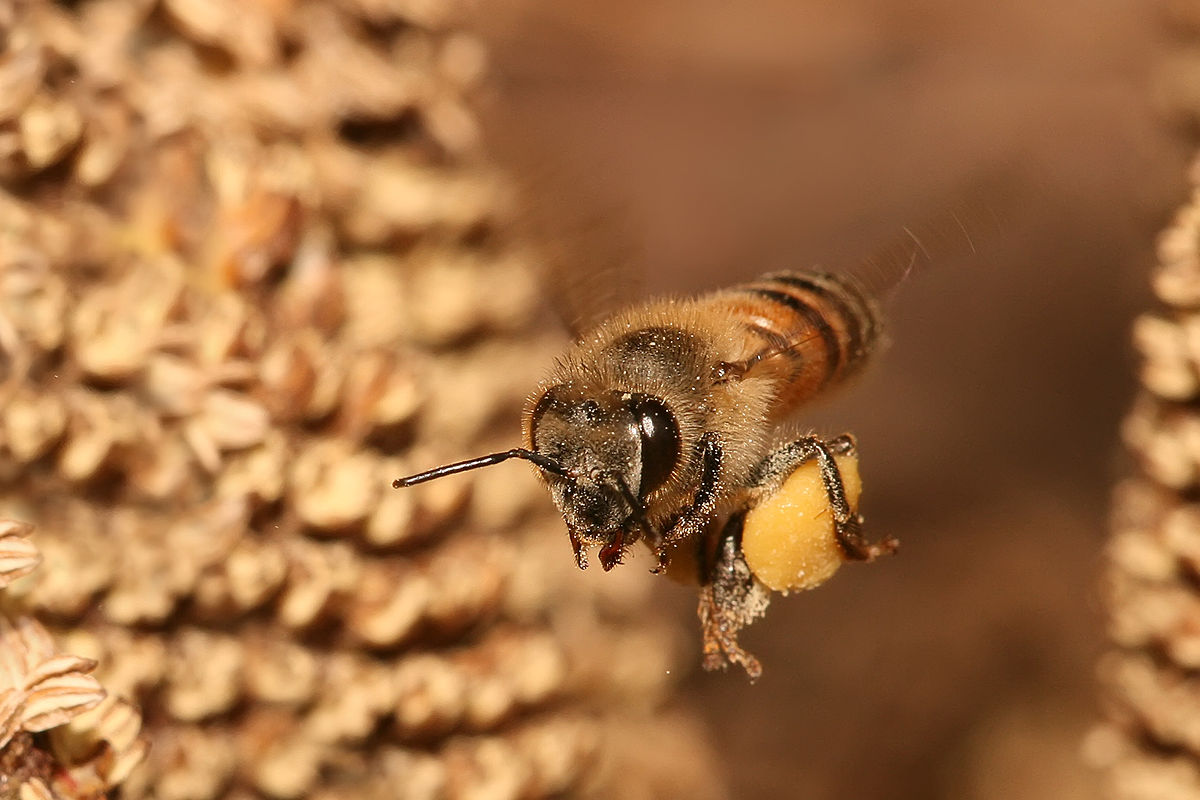 Apis mellifera flying.jpg