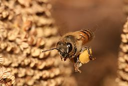 Apis mellifera flying