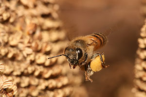 Forage (honey bee) - European honey bee flies back to the hive after collecting pollen. Pollen is temporarily stored in pollen baskets