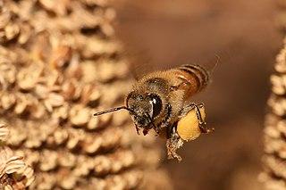 Dernières rumeurs sur les abeilles 2 dans ABEILLES 320px-Apis_mellifera_flying