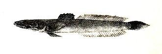 Oxudercidae - Oxuderces dentatus