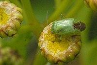 Apolygus.spinolae.jpg