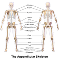 appendicular skeleton wikipedia : appendicular skeleton diagram - findchart.co