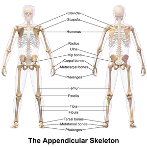 Appendicular skeleton - Image: Appendicular Skeleton