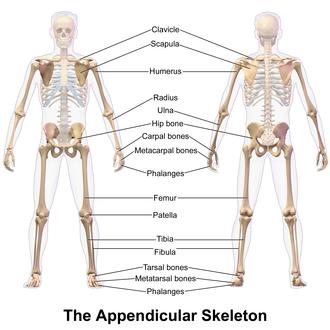 Appendicular skeleton - Image: Appendicular Skeleton