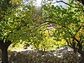 Apricot orchard in Hunza Valley.jpg