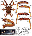 Aptostichus nateevansi anatomy.jpg