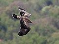 Aquila verreauxii02.jpg