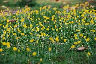 <i>Arachis duranensis</i> species of plant