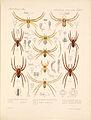 Arachnida Araneidea Vol 1 Table 13.jpg