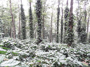 Coffee production in India - Coffee Plantation in Araku, Andhra Pradesh