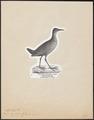 Aramides cayanea - 1809-1845 - Print - Iconographia Zoologica - Special Collections University of Amsterdam - UBA01 IZ17500037.tif