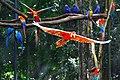 Arara vermelha - Parque das aves - Foz do Iguacu - Brasil (24195243491).jpg