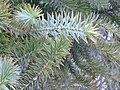 Araucaria angustifolia (foliage).jpg