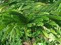 Araucaria heterophylla 0001.jpg
