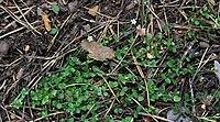 Arenaria rotundifolia 31532326.jpg