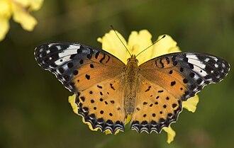 Sattal - Argynnis butterfly