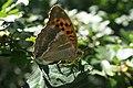 Argynnis paphia (48388526342).jpg