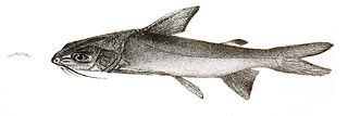 <i>Cephalocassis</i> Genus of fishes