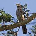 Arrow-marked babbler (Turdoides jardineii).jpg