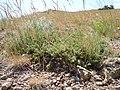 Artemisia arbuscula (5446051938).jpg
