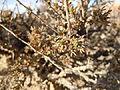 Artemisia pygmaea — Matt Lavin 005.jpg