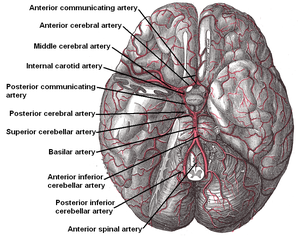 Anterior spinal artery - Image: Arteries beneath brain