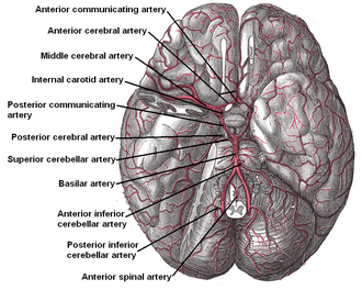 Anterior communicating artery - The arteries of the base of the brain. Anterior communicating artery at top. The temporal pole of the cerebrum and a portion of the cerebellar hemisphere have been removed on the right side. Inferior aspect (viewed from below).