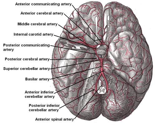 Anterior communicating artery - Wikipedia