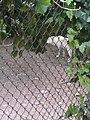 Artis Zoo - Wolf (7517074020).jpg