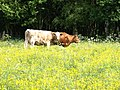 As happy as a cow in clover - geograph.org.uk - 1316941.jpg