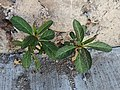 Asclepias curassavica creciendo en una grieta en México.jpg
