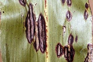 <i>Ascochyta sorghi</i> Species of fungus
