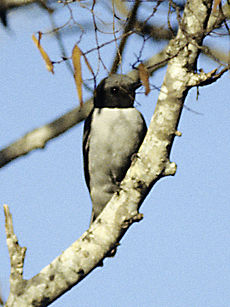 Ashy Cuckoo-shrike (Coracina cinerea) in tree.jpg