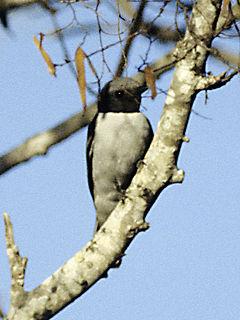 Madagascan cuckooshrike Species of bird
