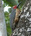 Ashy Woodpecker (Mulleripicus fulvus) on tree trunk (crop 2).jpg