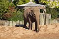 Asian Elephant at Chester Zoo 1.jpg