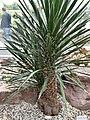 Asparagaceae Yucca faxoniana 1.jpg