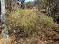 Asparagus laricinus, b, Waterberg.jpg