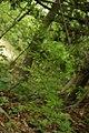 Asparagus tenuifolius PID1527-2.jpg