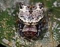 Aspidolasius branicki.jpg