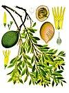 Aspidosperma quebracho-blanco - Köhler–s Medizinal-Pflanzen-017.jpg