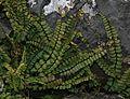 Asplenium trichomanes (Maidenhair spleenwort) - Flickr - S. Rae.jpg