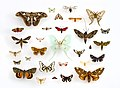 Assorted Moths (Lepidoptera) in the University of Texas Insect Collection (22281153644) (cropped).jpg
