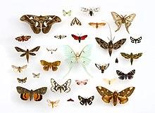 Moth Wikipedia