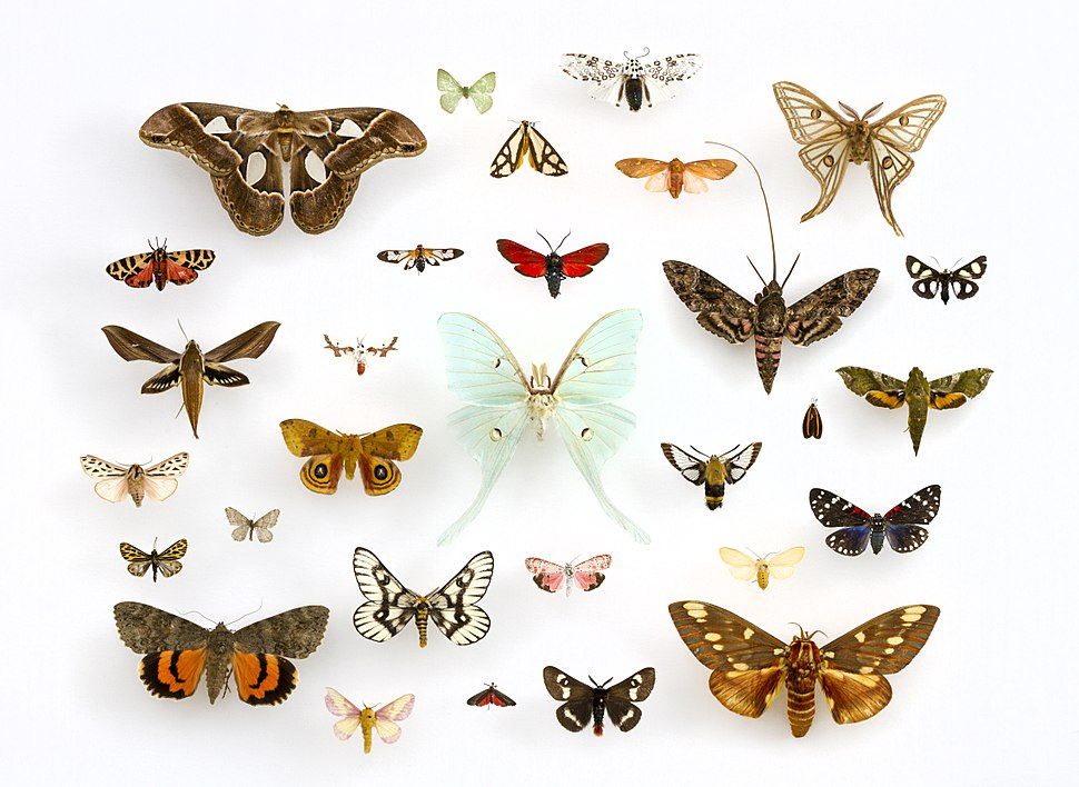 Assorted Moths (Lepidoptera) in the University of Texas Insect Collection (22281153644) (cropped)