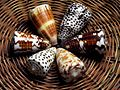 Assortment of colourful shells (3263347140).jpg