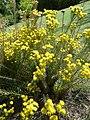 "Aster linosyris ""Goldilocks Aster"" (Asteraceae) (plant).JPG"