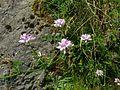 Astragalus Esino.jpg