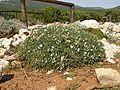 Astragalus terracianoi Belvedere Isola Piana.jpg